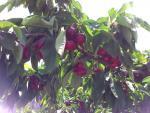 Camins de fruita dolça - Sucs